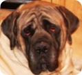 english mastiff breeders